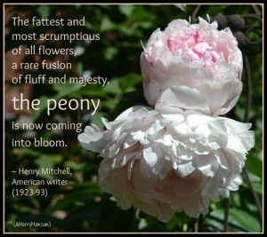 The fattest and  most scrumptious  of all flowers,  a rare fusion  of fluff and majesty,  the peony    is now coming  into bloom.    ~ Henry Mitchell,  American writer  (1923-93) - amerrymom.com