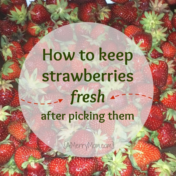 How to keep strawberries fresh after picking them | AMerryMom.com
